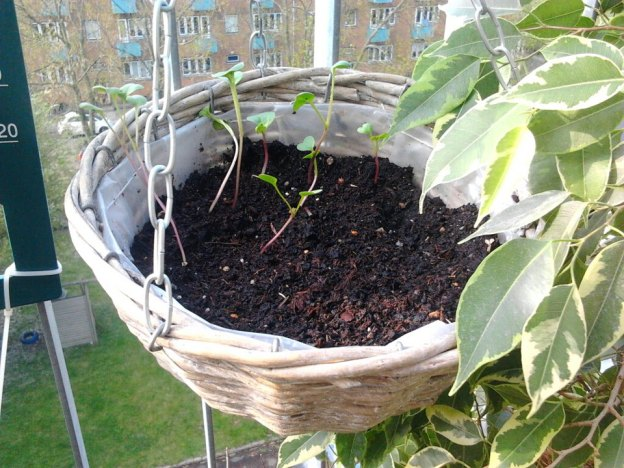 The radish seedlings in their new home-soil recycled from last years herb pot